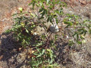 04 Pompones de la planta de algodon